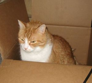 Orange and White cat in cardboard box